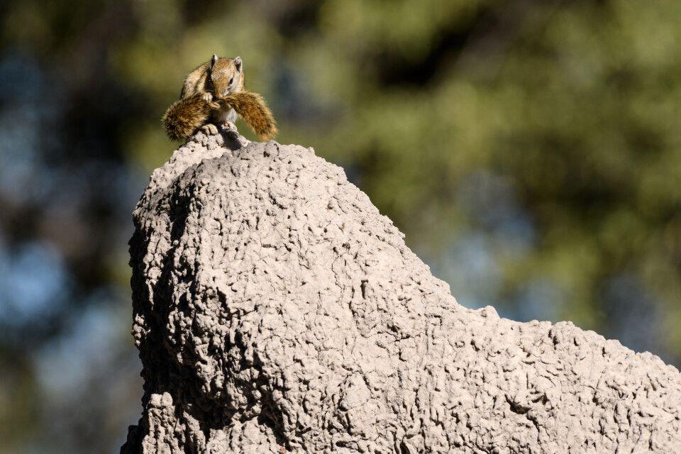 Oh, das zwickt heute wieder! Baumhörnchen bei der Fellpflege.