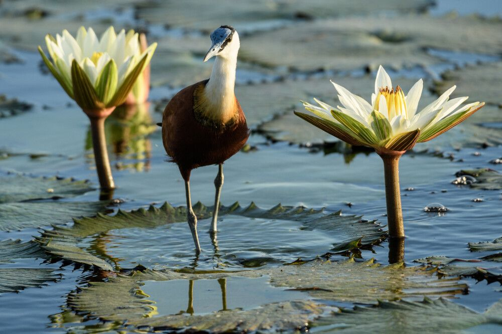 Blaustirn-Blatthühnchen (Jacana) zwischen Tagseerosen, Chobe River, Chobe National Park, Botswana