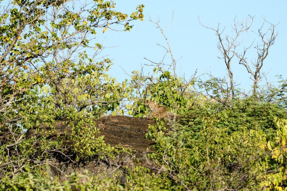 Gut getarnt: junger Leopard, Savuti, Chobe National Park, Botswana