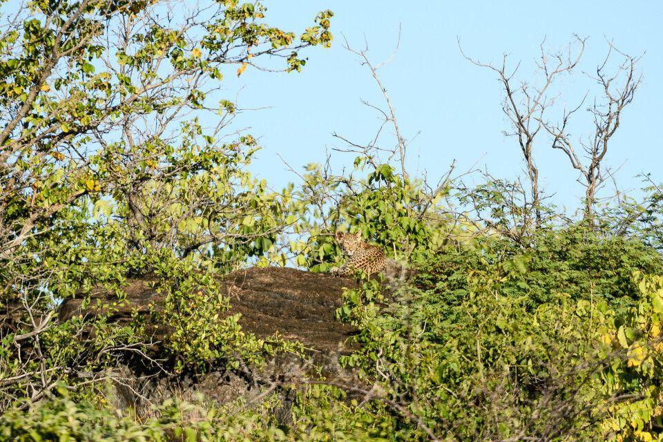 Gut getarnt: Der Leopardennachwuchs hält von einem der Granitfelsen Ausschau nach der Mutter.