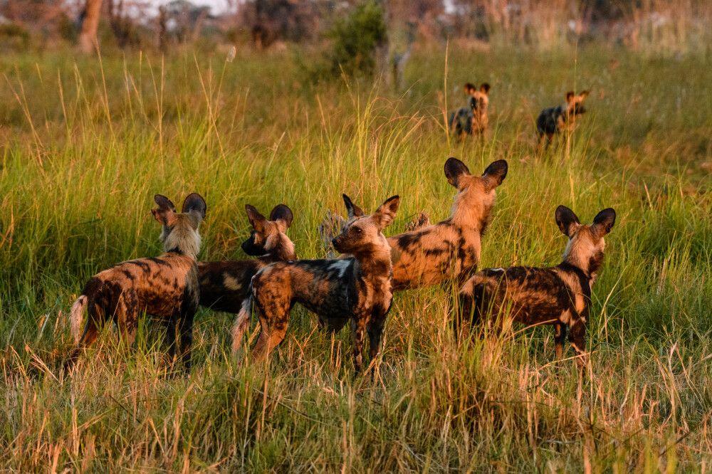 Afrikanische Wildhunde nach der Jagd im Abendlicht, Khwai Community Area, Okavango-Delta, Botswana