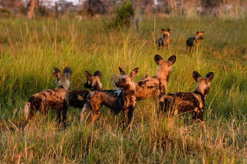 Im letzten Licht des Tages: Wir haben Glück und treffen vor Einbruch der Dunkelheit auf Wildhunde. Sie haben gejagt, mussten das Impala aber ziehen lassen. Nun sammeln sie sich wieder.