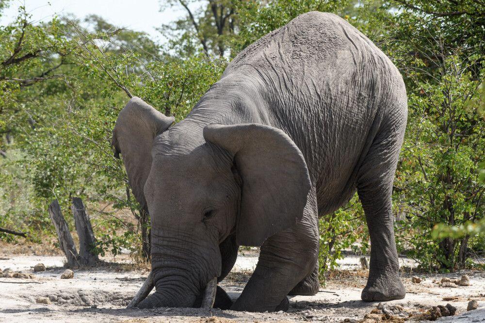 Elefant beim Versuch, Mineralien und Salze aus der trockenen Erde zu lösen, Khwai Community Area, Okavango-Delta, Botswana