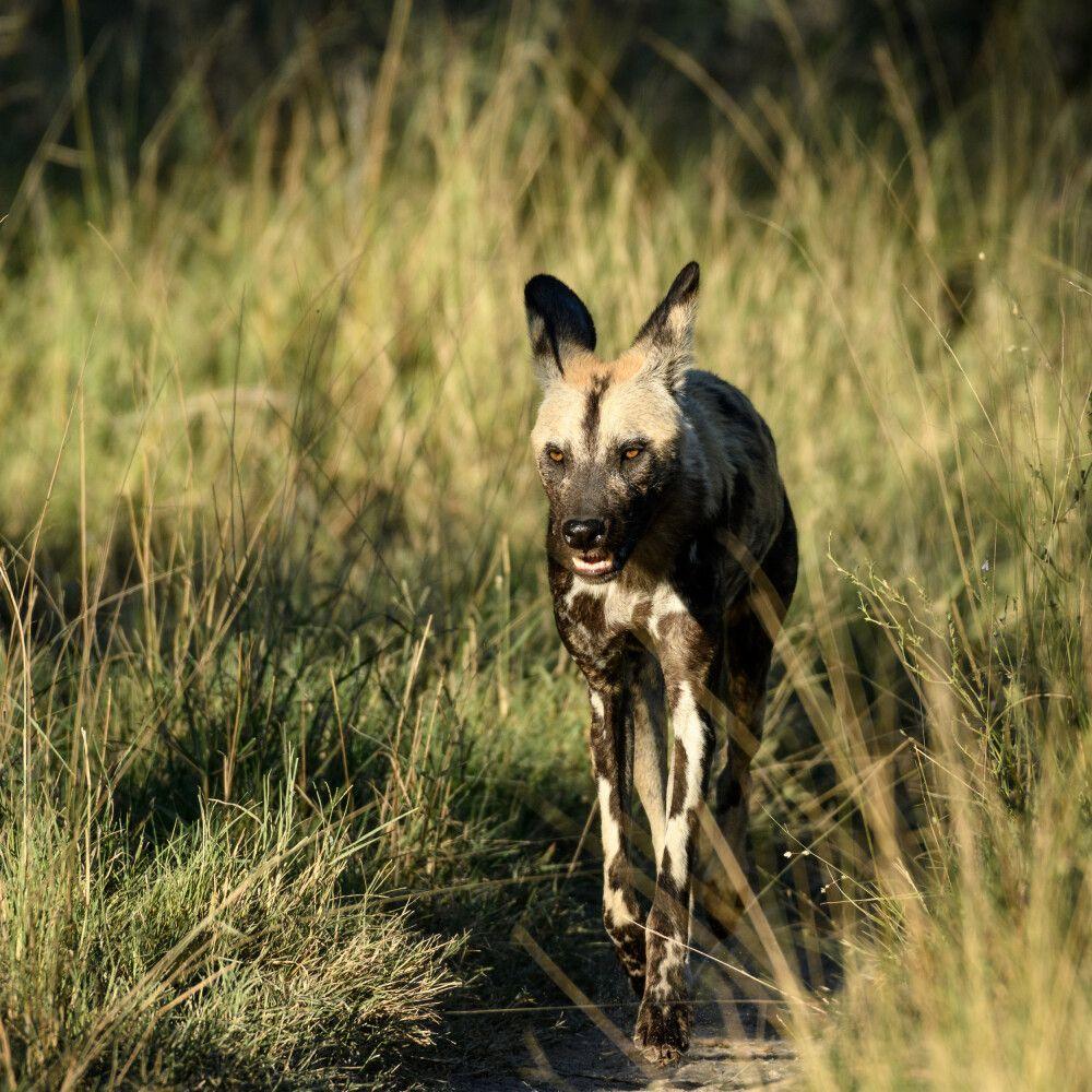 Afrikanischer Wildhund, Moremi Game Reserve, Okavango-Delta, Botswana