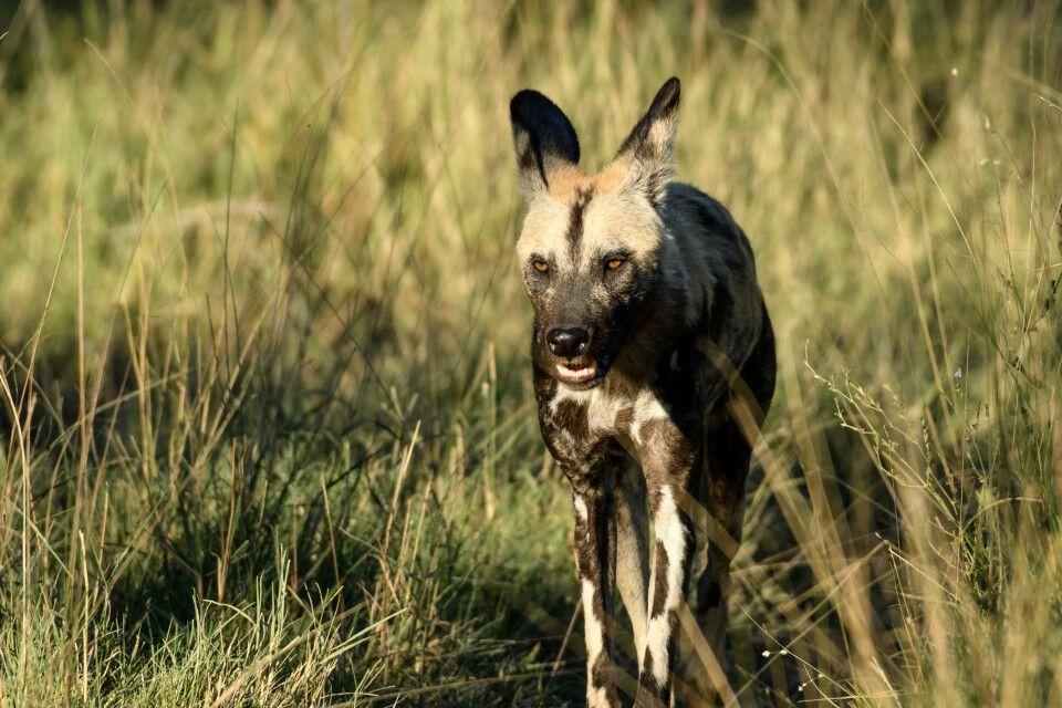 Unverhoffte Begegnung: Zum zweiten Mal stoßen wir auf Wildhunde, diesmal auf ein anderes Rudel. Die Fellzeichnung ist individuell verschieden und kennzeichnet jedes einzelne Tier.