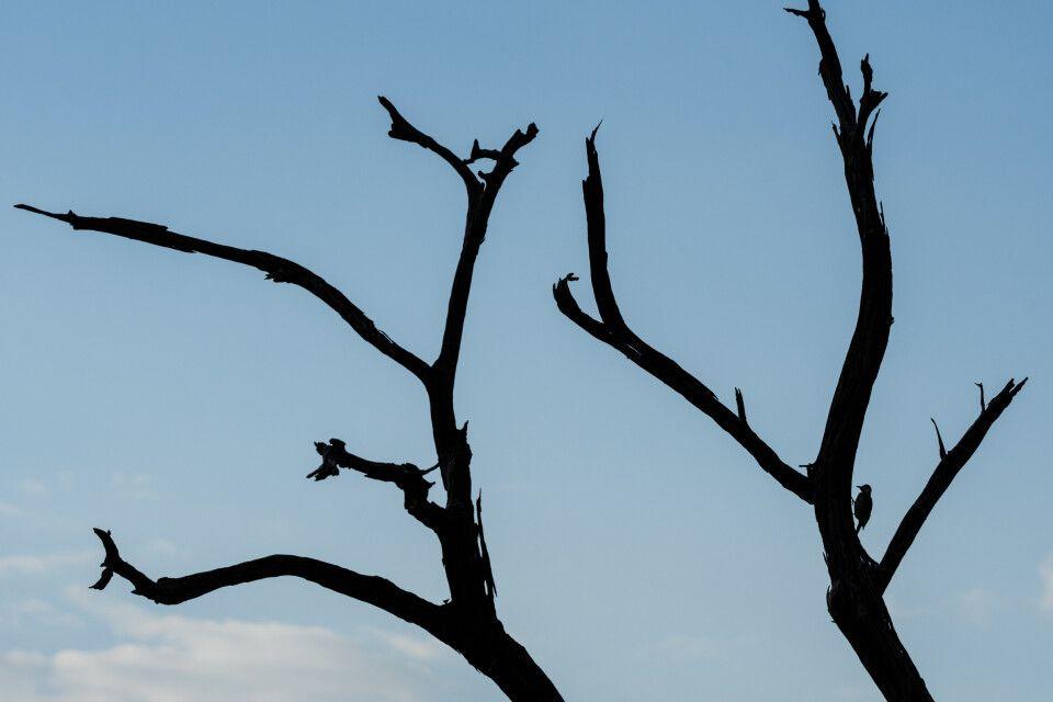 Schattenspiele: Ein Bennetspecht sucht in einem abgestorbenen Baum nach Nahrung.