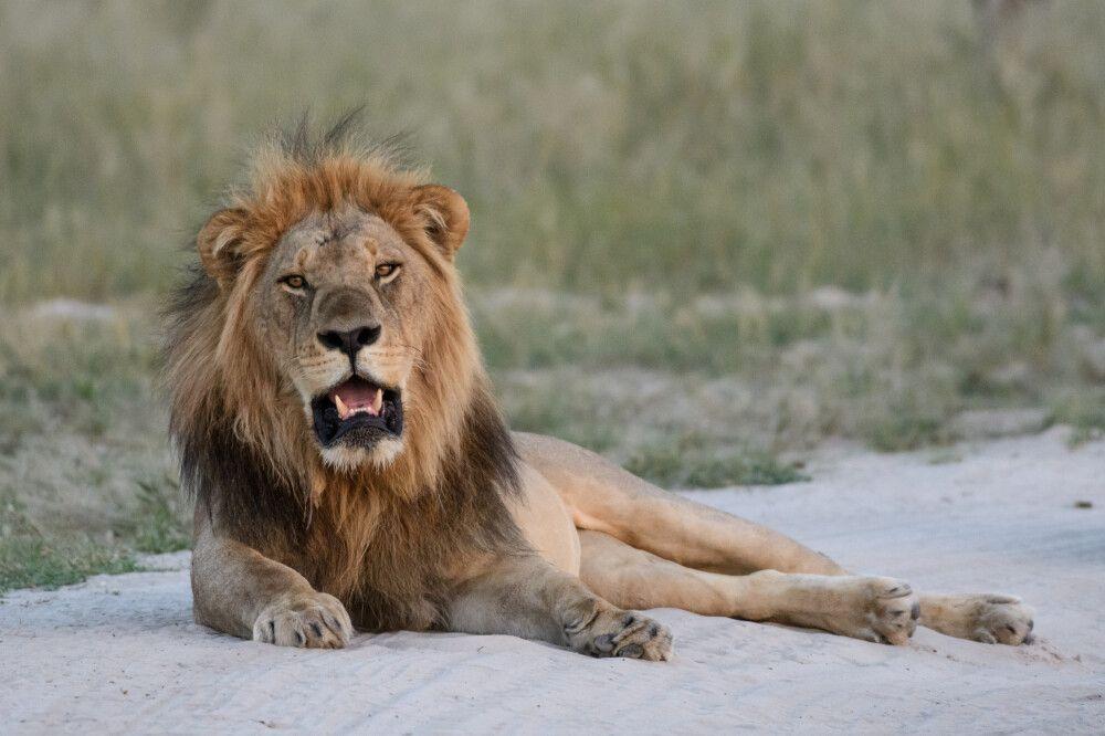 Löwenmännchen, Savuti, Chobe National Park, Botswana