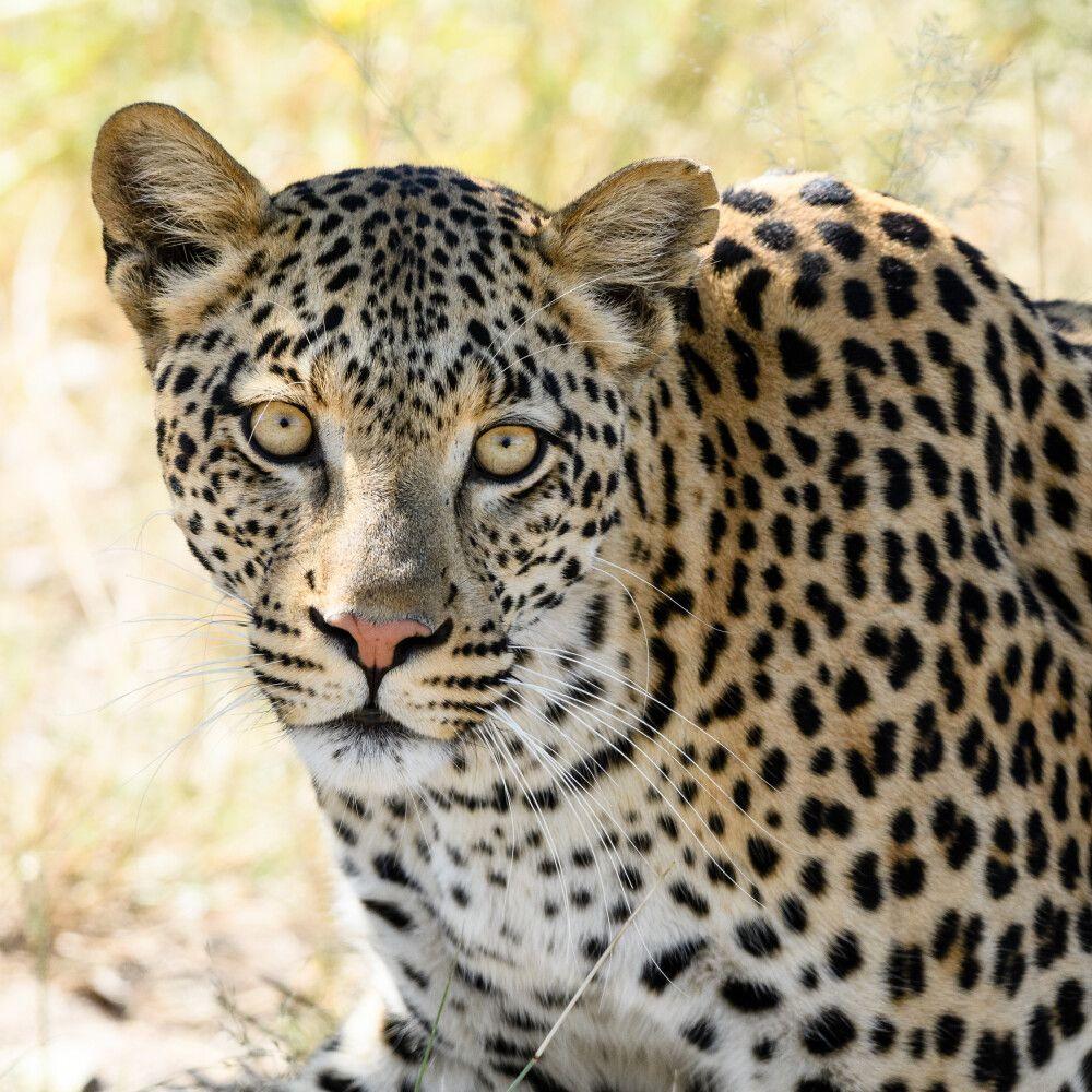 Leopardin, Moremi Game Reserve, Okavango-Delta, Botswana