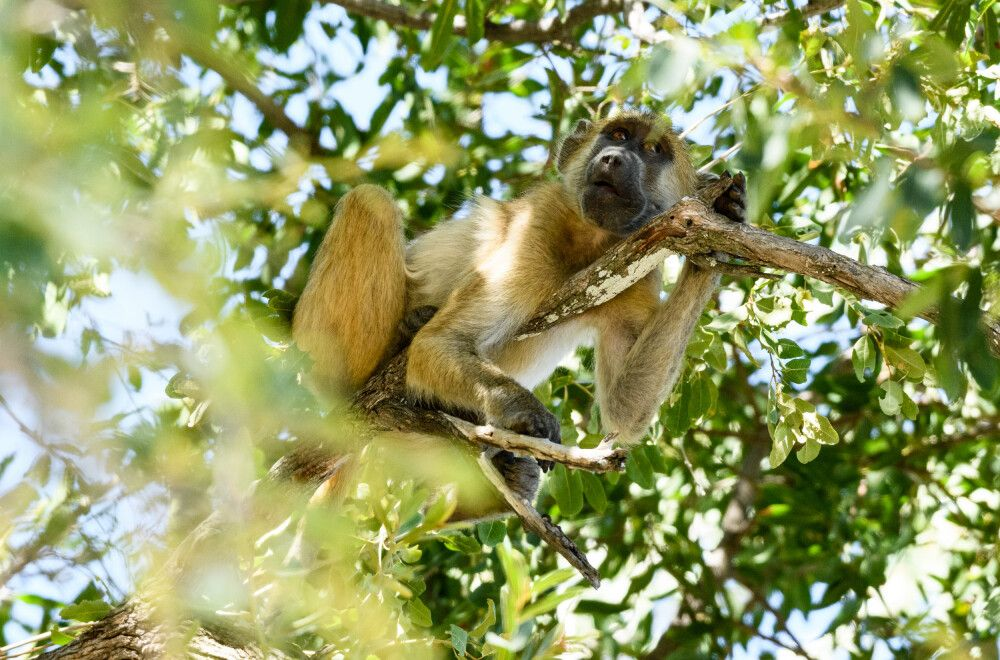 Pavian im Marulabaum, Moremi Game Reserve, Okavango-Delta, Botswana