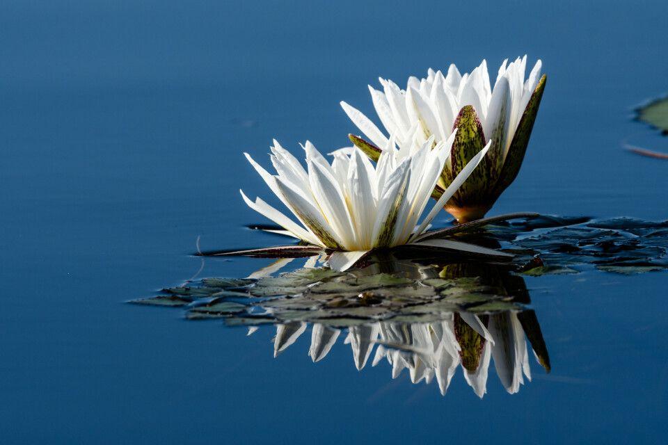 Faszinierende Schönheiten: Tagseerosen. Moremi Game Reserve