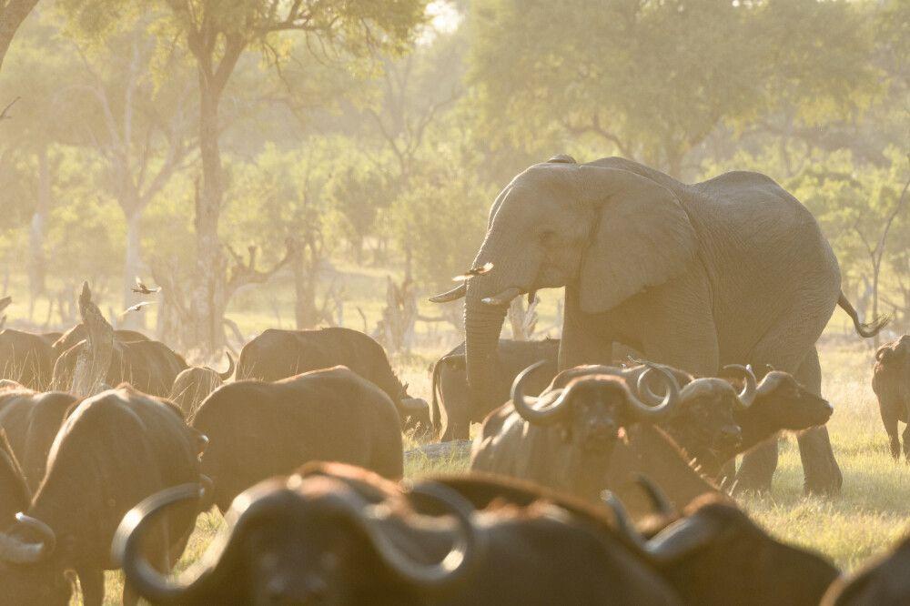 Büffel und Elefanten am Fluss im Abendlicht, Khwai Community Area, Okavango-Delta, Botswana