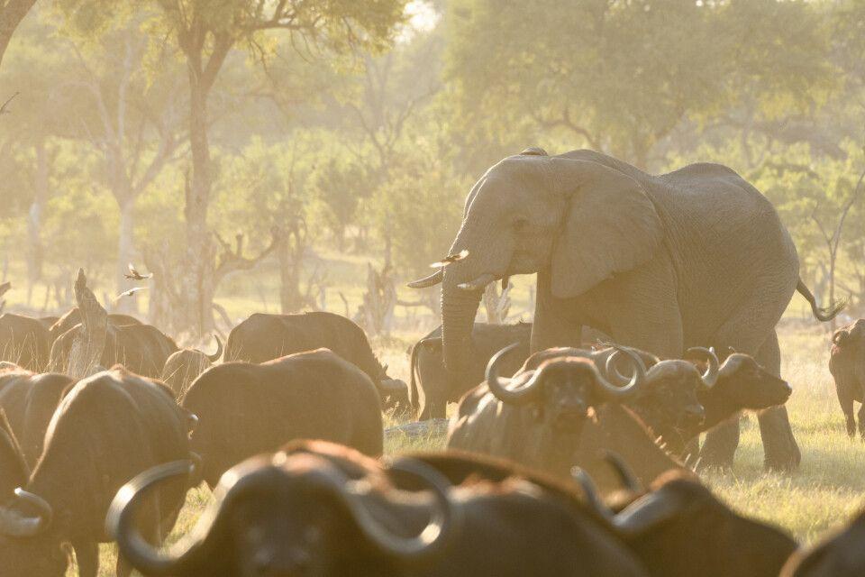 Büffel und Elefanten am Fluss im Abendlicht, Khwai, Okavango-Delta