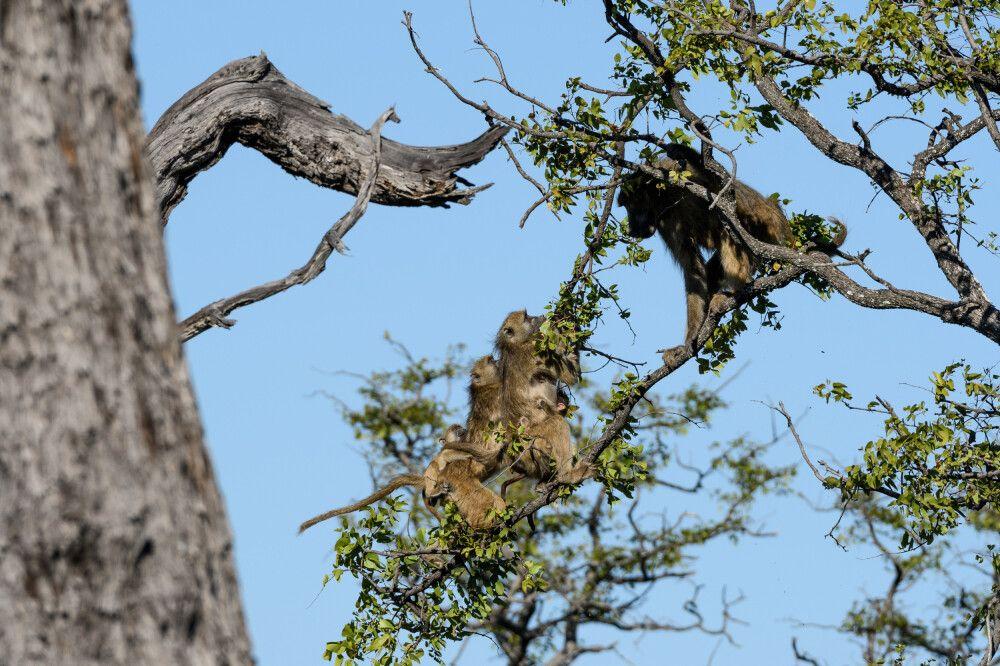 Aggressivität unter Pavianen: Ein wütendes Männchen (rechts) versucht, Weibchen mit Jungtieren von einem Baum zu vertreiben. Moremi Game Reserve, Okavango-Delta, Botswana