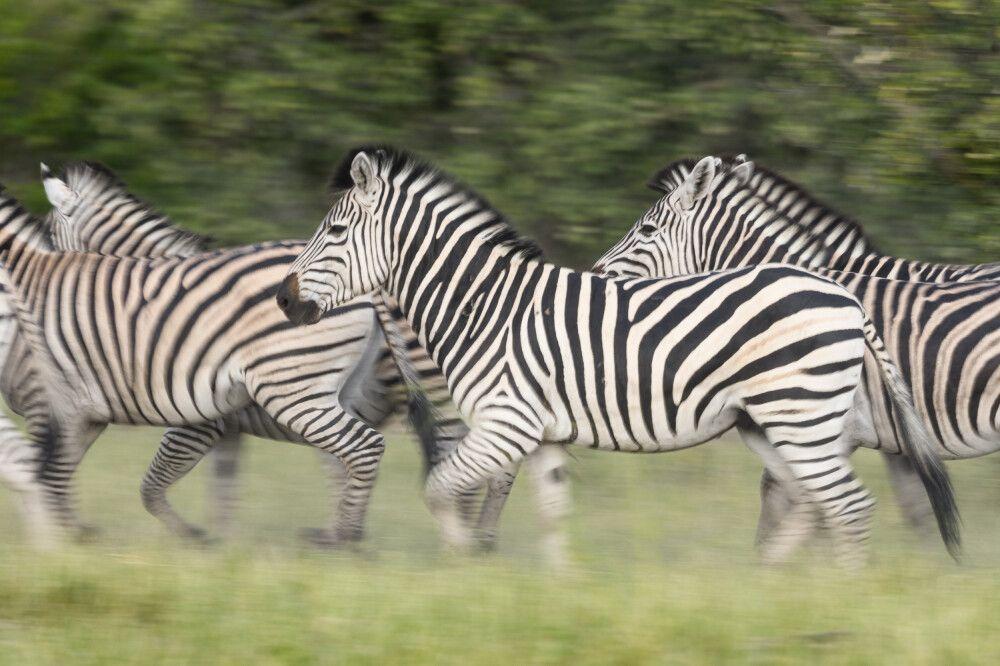Zebras, Savuti, Chobe National Park, Botswana