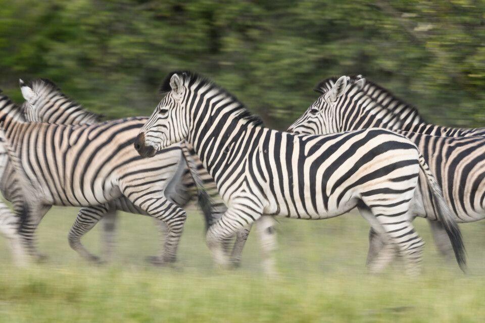 Immer in Bewegung: Zebras ziehen auf ihre jährlichen Wanderung durch Savuti.