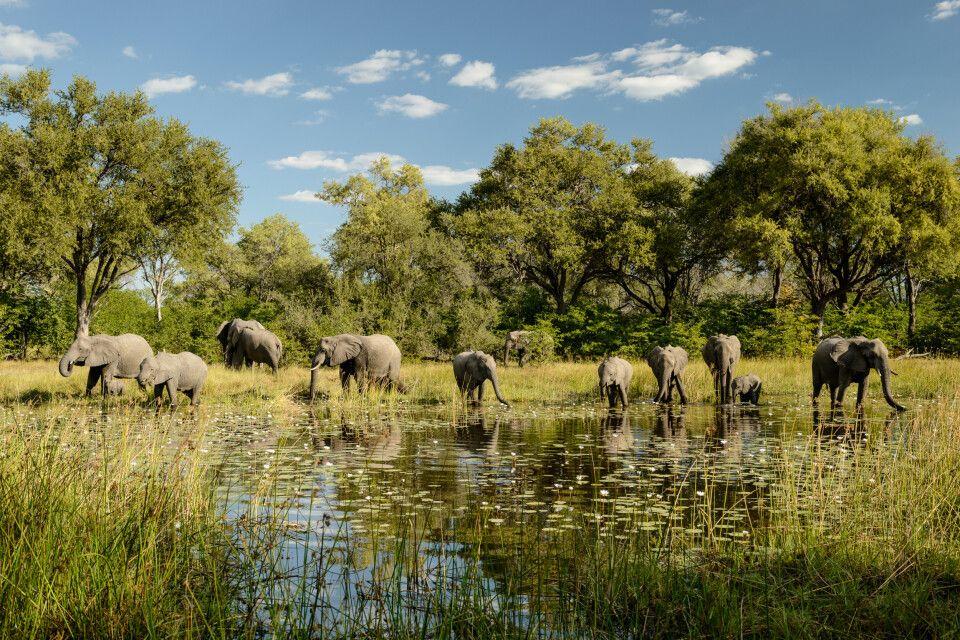 Elefanten kommen zum Trinken an den Wasserlauf direkt beim Camp, Khwai Community Area, Okavango-Delta, Botswana