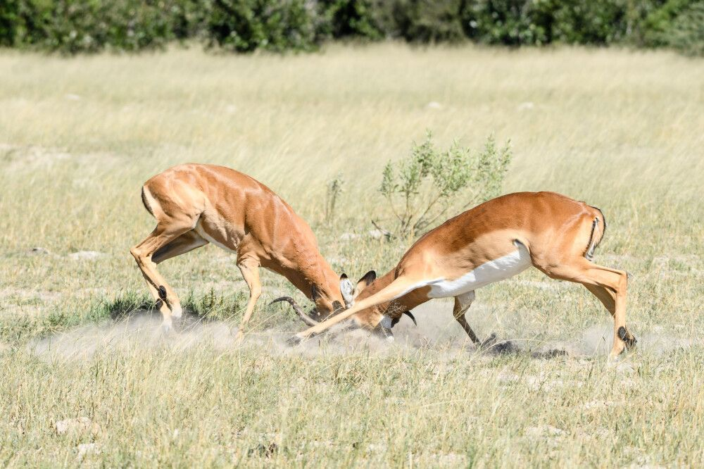 Impalaböcke bei Rangkämpfen, Savuti, Chobe National Park, Botswana