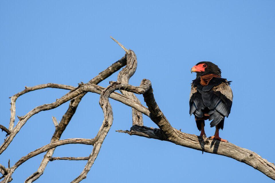 Prächtiger Vertreter der vielfältigen Vogelwelt: der Gaukler, eine am leichtesten zu identifizierenden Adler-Arten.