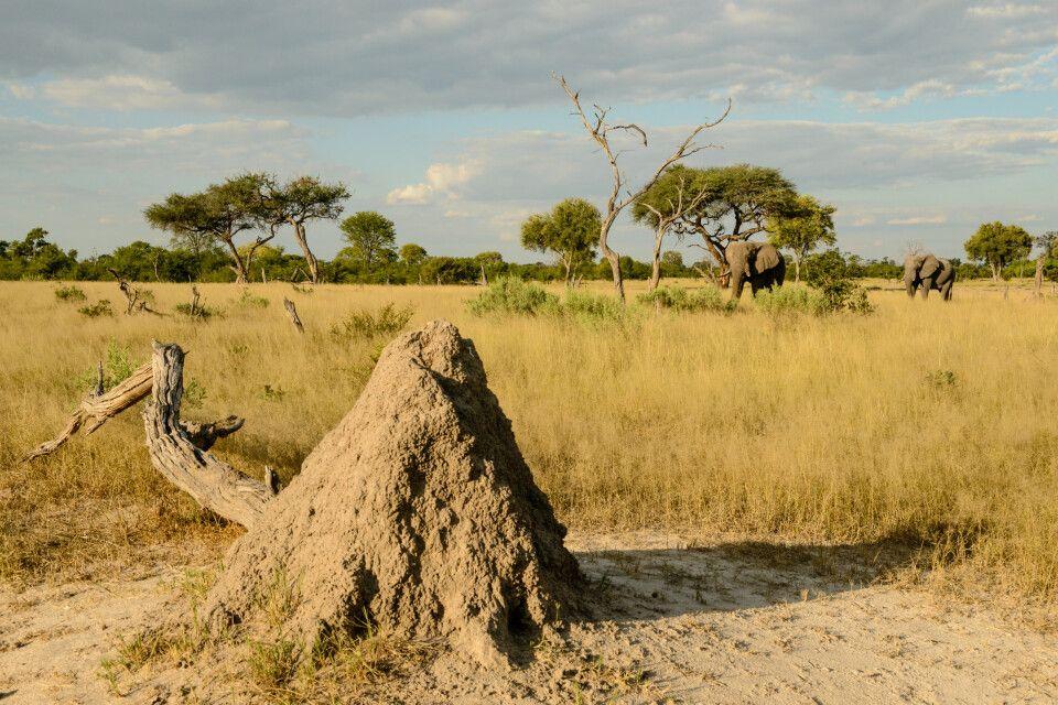 Savannenlandschaft in Khwai - mit Termitenhügeln, Akazien und Elefanten