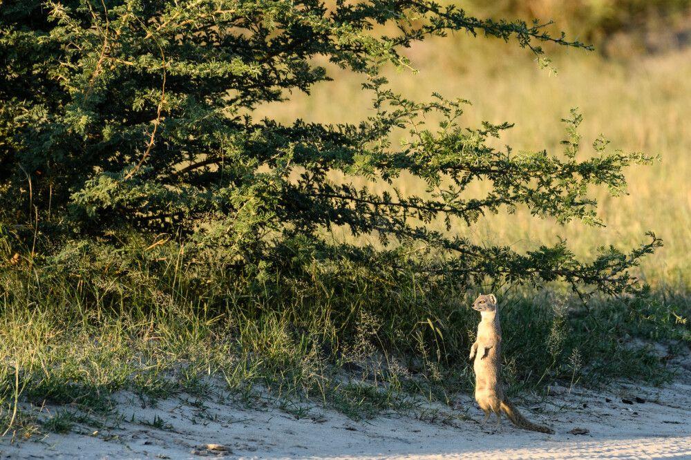 Fuchsmanguste im Abendlicht, Savuti, Chobe National Park, Botswana