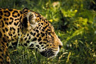 Dem König des Pantanals auf der Spur: dem Jaguar