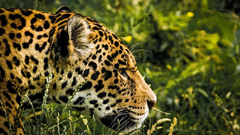 Dem König des Pantanals auf der Spur: dem Jaguar © Diamir