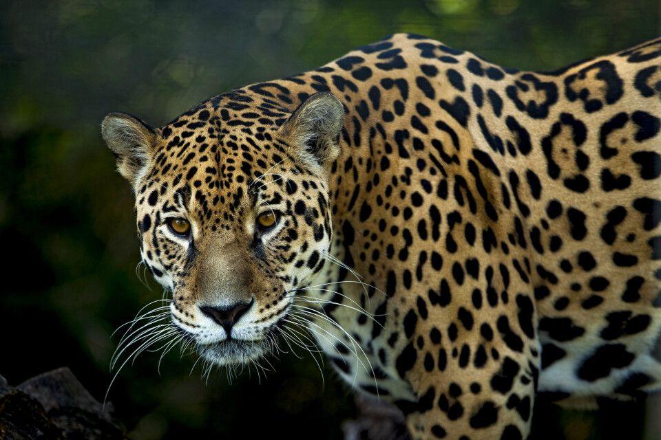 Die drittgrößte Katze der Welt, der Jaguar (Panthera onca)