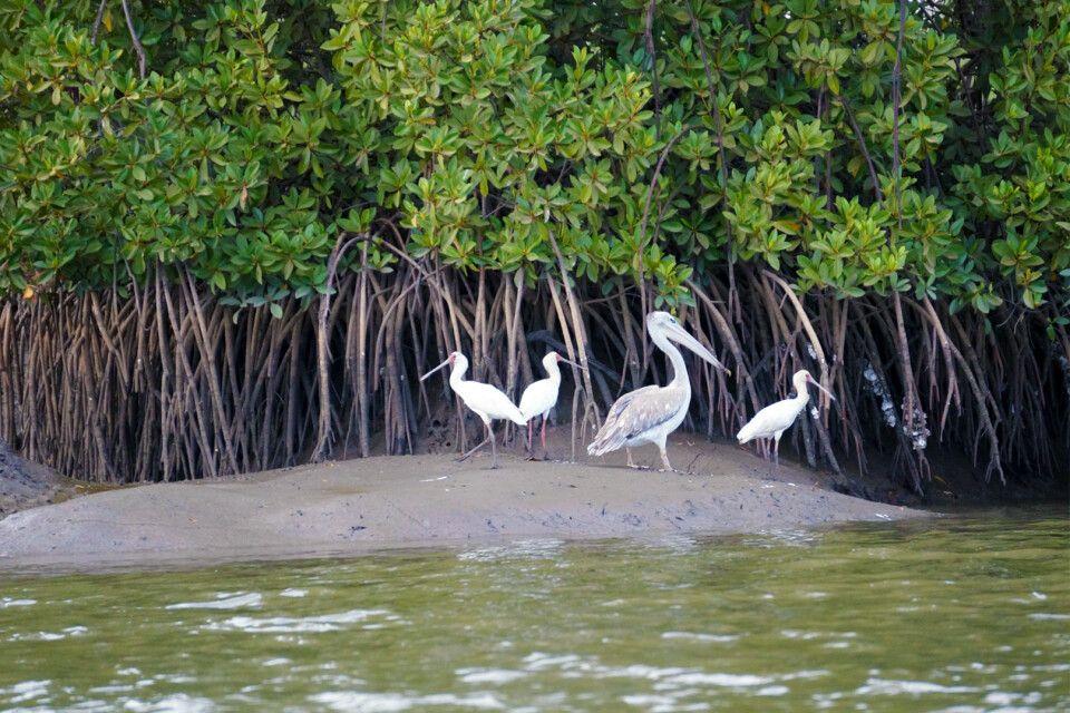 Pelikane am Gambia-Fluss