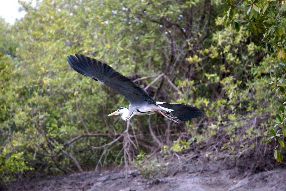 Komoran Mangroven Gambia-Fluss