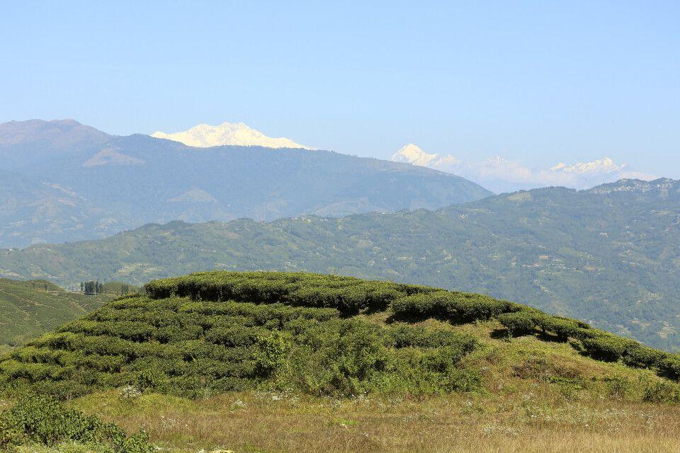 Teeplantagen mit Kanchenjunga-Massiv im Hintergrund