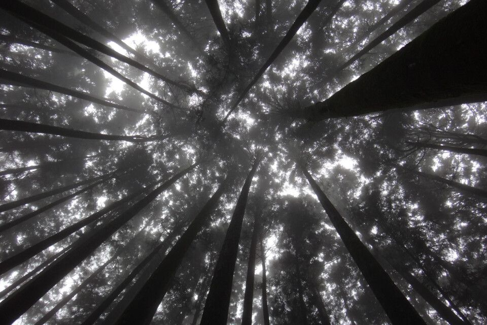 Uralte, riesige Bäume stehen hier in mehreren Generationen. Einige Zedern sind knapp 2000 Jahre alt. Bei anderen Bäumen wächst bereits die dritte Generation aus dem Stamm!