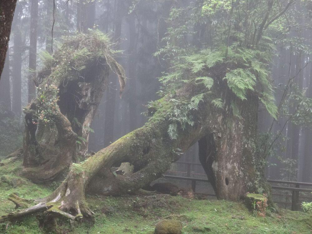 Die mit Moosen und Farnen bewachsenen Bäume lassen an Fabelwesen glauben. Das Nebelmeer verstärkt diesen Eindruck noch.