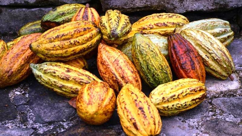 Kakao ist in gesamt Lateinamerika ein wichtiger Bestandteil, so auch in Belize © Diamir
