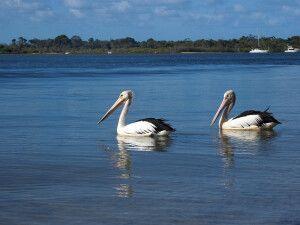 Pelikane nahe Noosa