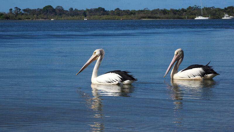 Pelikane nahe Noosa © Diamir