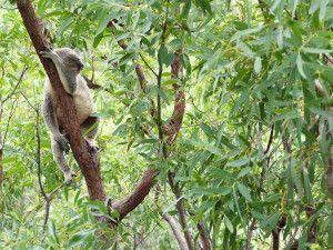 Schlafender Koala im Eukalyptus
