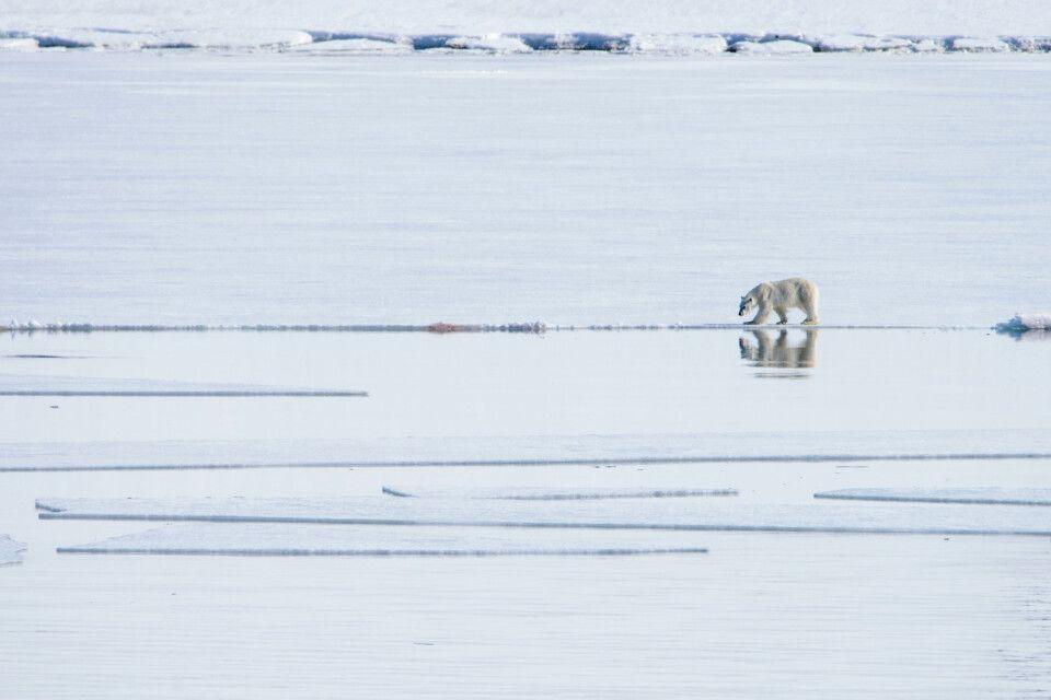 Eisbärsichtung entlang der Eiskante
