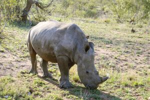Begegnung mit einem der seltenen Nashörner vor den Toren des Berg en Dal Restcamps