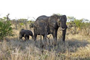 Elefantenmutter und ihr Junges im Krüger-Nationalpark