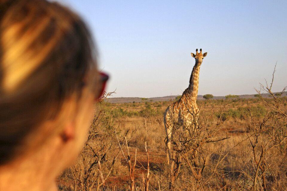 Blickkontakt mit einer südafrikanischen Giraffe