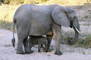 Elefantenbaby im Schutz der Mutter im Krüger-Nationalpark