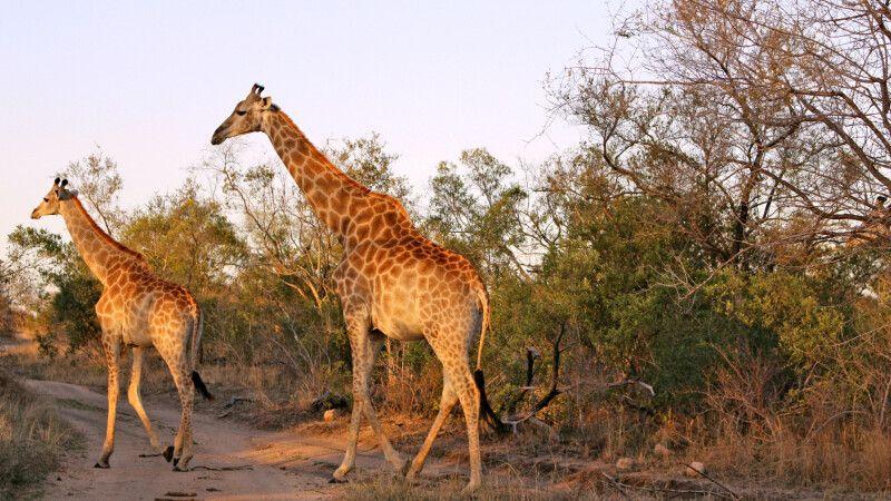 Zwei Giraffen beim Spaziergang durch den Krüger-Nationalpark © Diamir
