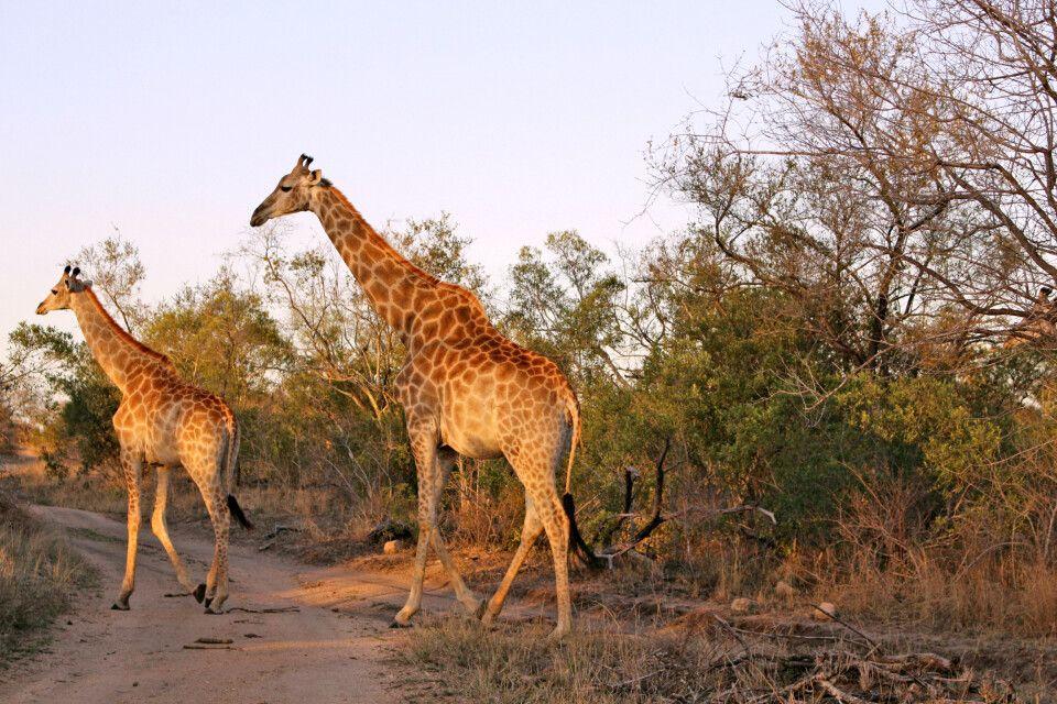 Zwei Giraffen beim Spaziergang durch den Krüger-Nationalpark