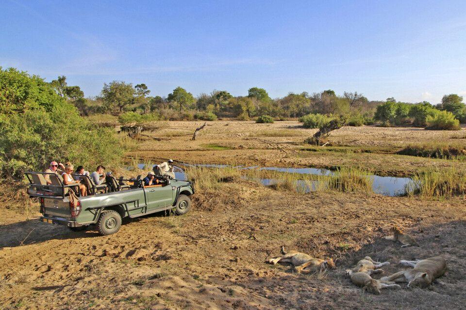 Safari-Begegnungen mit einem Löwenrudel im Krüger-Nationalpark