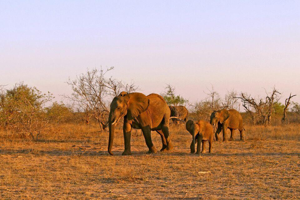 Eine Elefantenfamilie im Krüger-Nationalpark