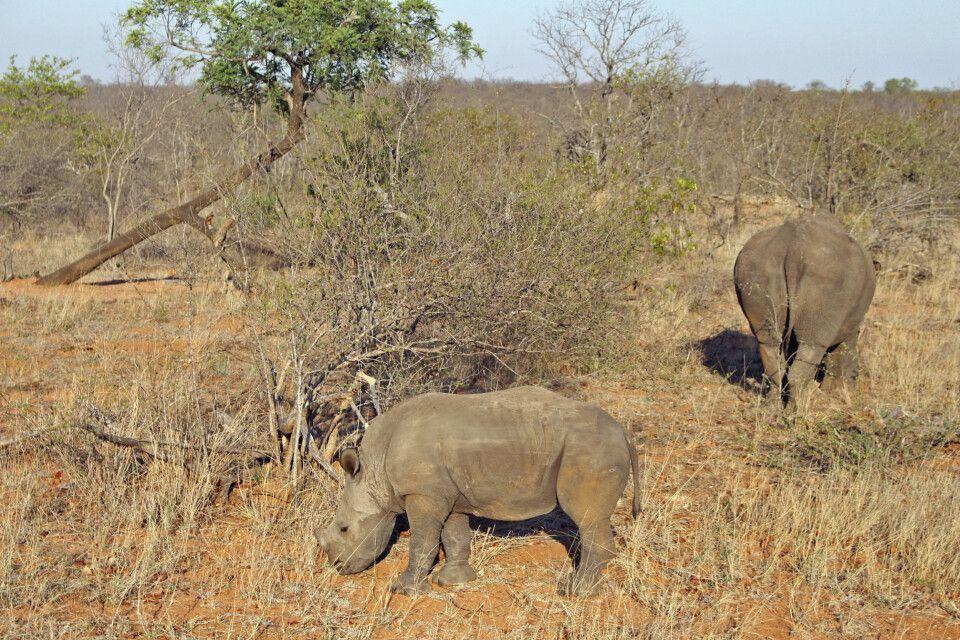 Junges Nashorn im Krüger-Nationalpark