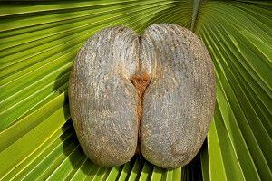 Seychellennuss - Coco de Mer