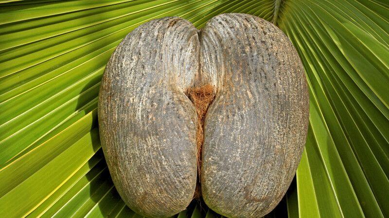 Seychellennuss – Coco de Mer © Diamir