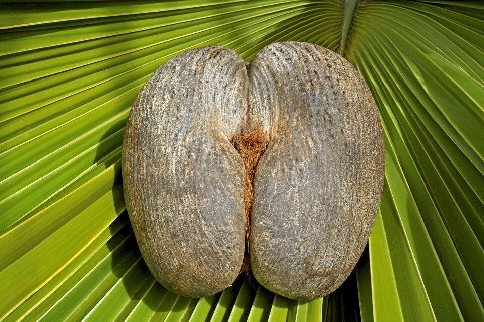 Seychellennuss – Coco de Mer