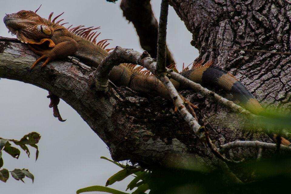 Ein Leguan entspannt sich im Baum